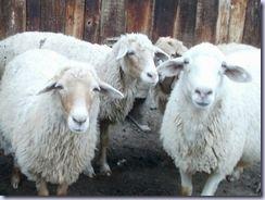 sheep_gaze