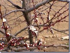 apricot01