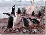 gentoo flapping with chicks