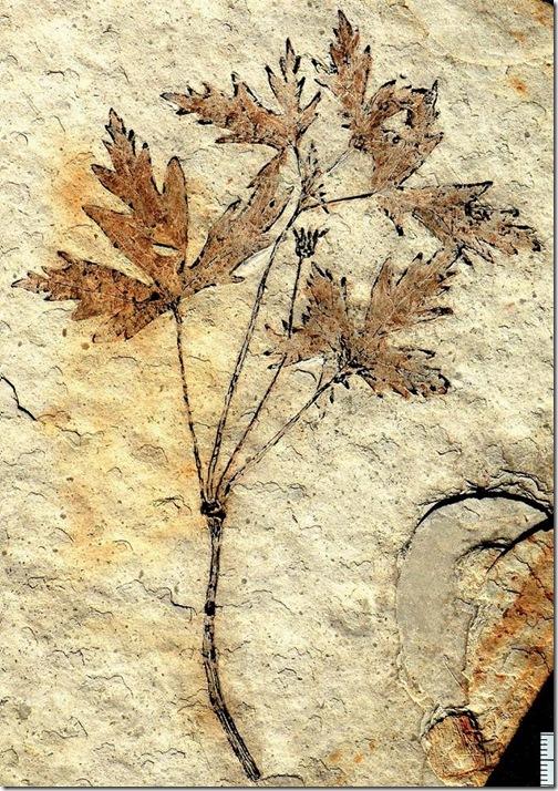 plant_fosil