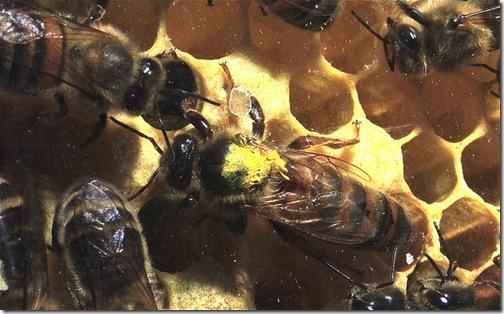 queen-honeybee