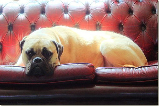 dog on leather tufted sofa