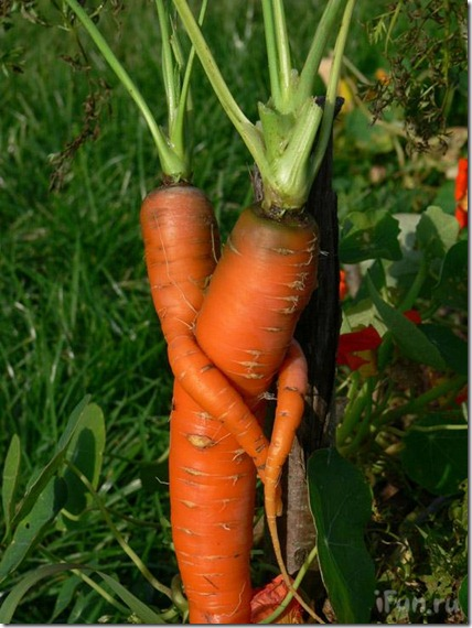 cenoura trepando