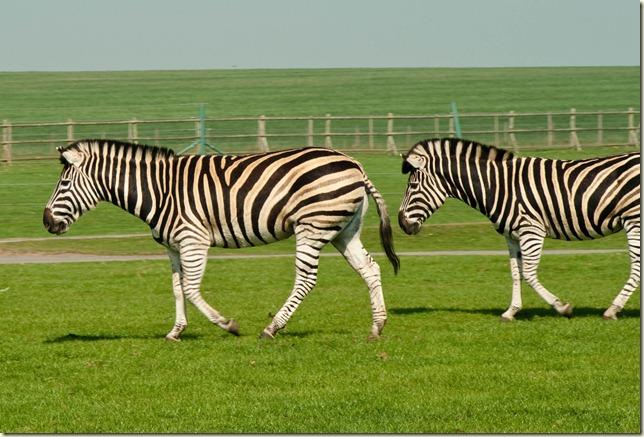 Zebra-1-2