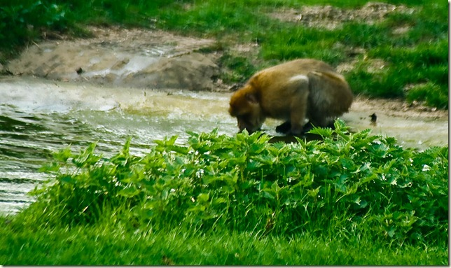 monkey drinking-1