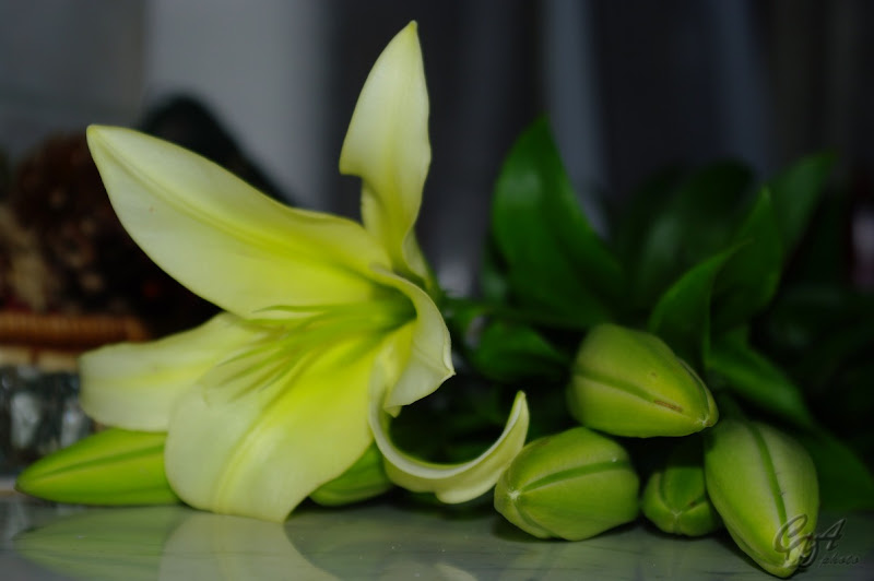 Christmas lily (Lilium longiflorum)