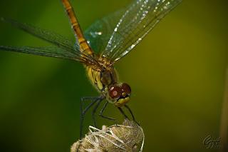 Dragonfly (anisoptera)