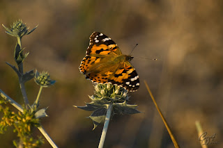 Brush-footed butterfly (Nymphalidae) - Vanessa Cardui