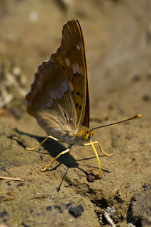Brush-footed butterfly (Nymphalidae) - Apatura Metis