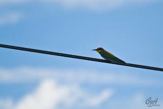 European Bee-Eater bird (Merops apiaster)