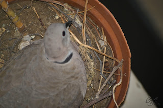 Collared Dove sitting on eggs and new born chicks