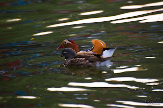 Mandarin Ducks (Aix galericulata - hen and drake) on the lake