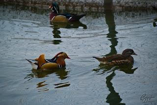 Mandarin Ducks (Aix galericulata -  drake and hen) on the lake