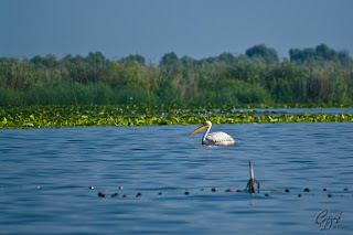 Great White Pelican (Pelecanus onocrotalus), known also as Eastern White Pelican or White Pelican in the Danube Delta
