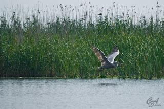 Great White Pelican (Pelecanus onocrotalus), known also as Eastern White Pelican or White Pelican in the Danube Delta