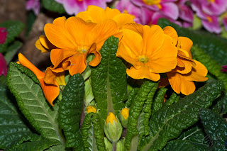 Pansies (Viola tricolor hortensis)