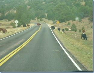 Colorado Cattle in Road