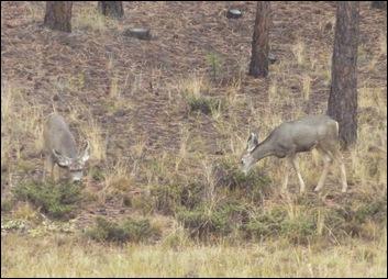 Bryce Canyon Nat'l Park Mule Deer