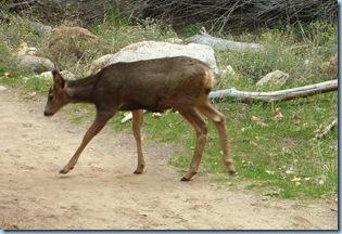 Zion Nat'l Park Mule Deer