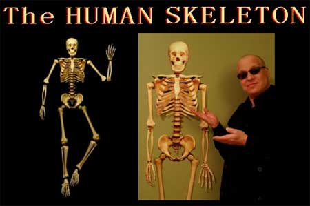 human skeleton skull. Life Sized Human Skeleton