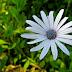 White flower, purple pollen