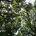 Looking up oaks