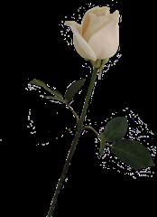 ROSAS_LADY_MEL (21)
