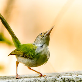 tiny bird by Soumitra Goswami - Animals Birds ( wild, konnagar, goswami, tiny bird, soumitra )