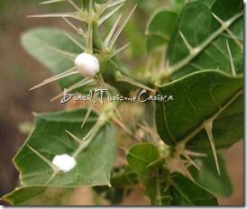FAVELA ( Cnidoscolus phyllancatus)