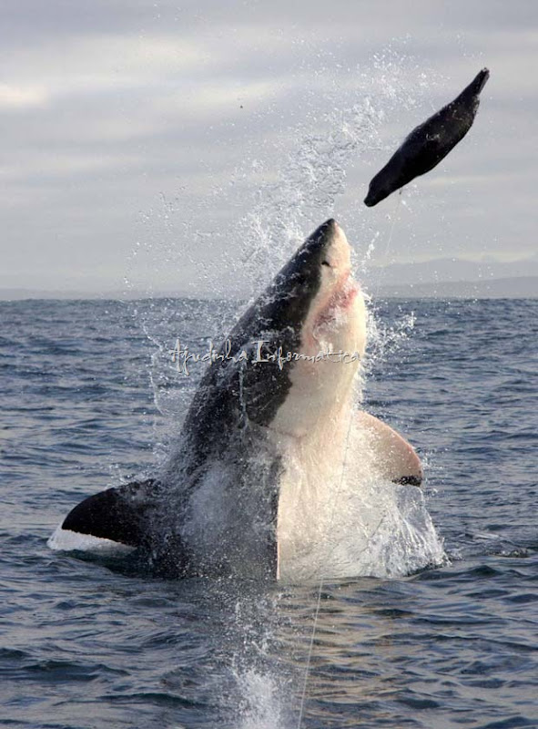 Spectacular Shark Breaching-Cena foi fotografada em False Bay, na África do Sul