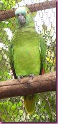 220px-Amazona_aestiva_cropped