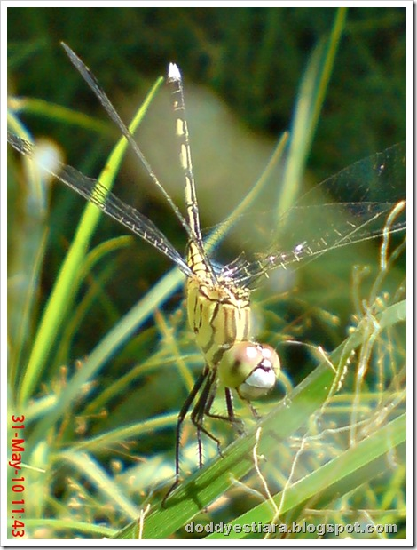 litle dragonfly 01