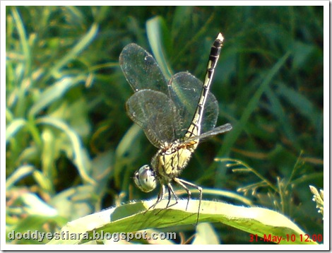litle dragonfly 02