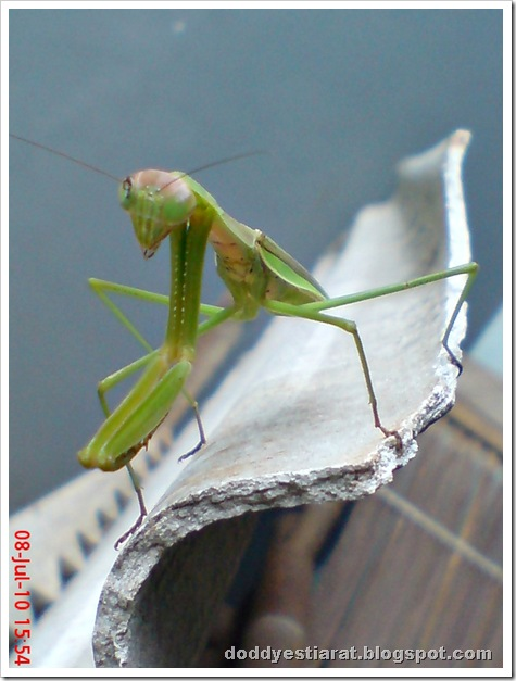 one eye praying mantis 33