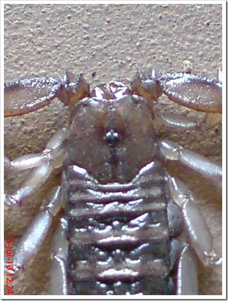 Flat-bodied scorpion 3