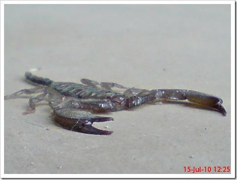 Flat-bodied scorpion 5