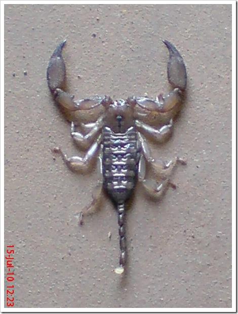 Flat-bodied scorpion 1