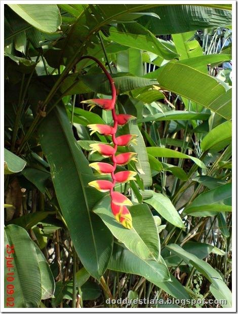 heliconia flower bunga pisang-pisangan 7
