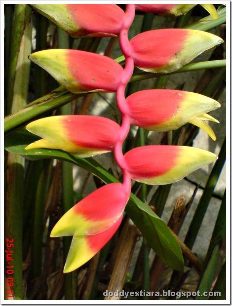 heliconia flower bunga pisang-pisangan 5
