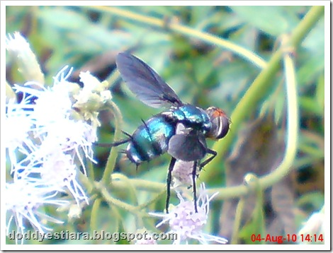 flower fly-lalat bunga 10