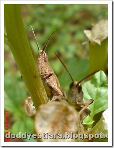 two brown grasshopper 01