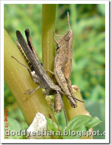 two brown grasshopper 07