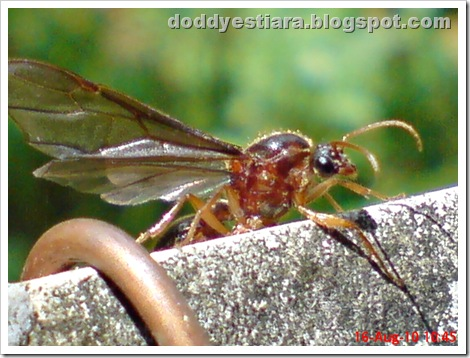 brown flying ant 07