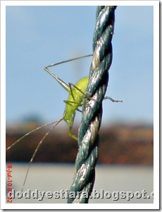 small green grasshopper 06