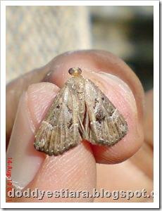 small moth ngengat kecil 01