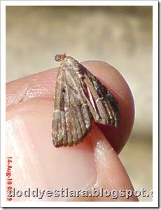 small moth ngengat kecil 02