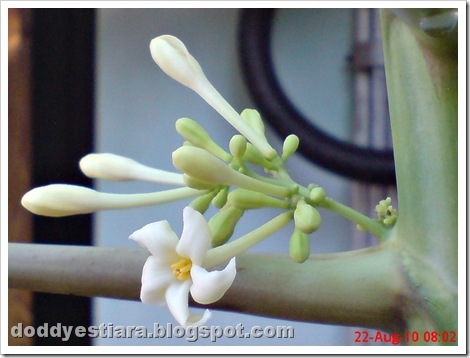 papaya flower 04