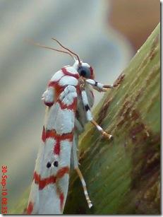 ngengat putih bergaris merah 14