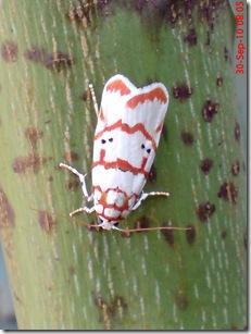 ngengat putih bergaris merah 01