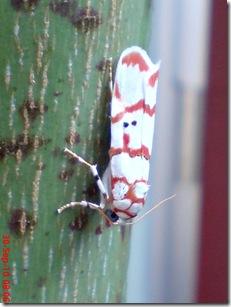 ngengat putih bergaris merah 02